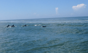 Dolphins show up on the Gulf to watch Whitney drive her first Picnic Boat!