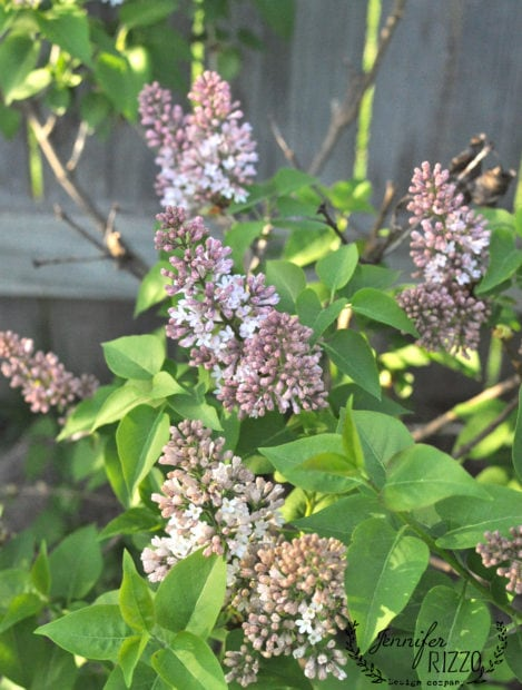 Lilac troubleshooting. reasons why Lilacs don't bloom or produce a lot of flowers.