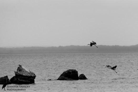 Grey Herons-2