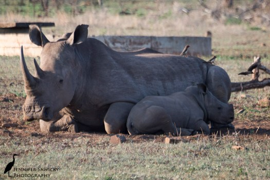 A white rhino cow and calf resting in the afternoon heat, with a trio of oxpeckers accompanying them. 1/800sec, f5.6, ISO800