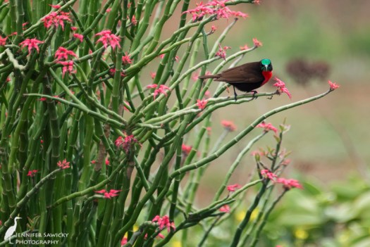 A scarlett chested sunbird looks straight into the camera, whilst pierced on an aloe plant. 1/1000 sec, f5.6, ISO 800