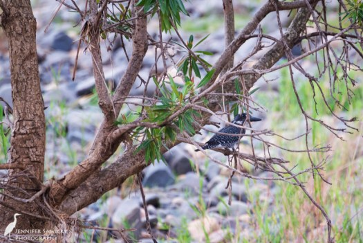 A giant kingfisher perches in a tree above the Mkhuze River. 1/250sec, f5.6, ISO 1800