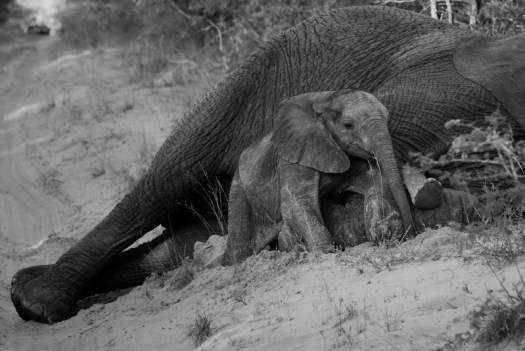 A tiny baby elephant wraps his trunk around his mama's front leg while she has a quick rest at the side of the road (and shows off his little foot in the process). Phinda Private Game Reserve, April 2015 1/640sec, f9, ISO 4000