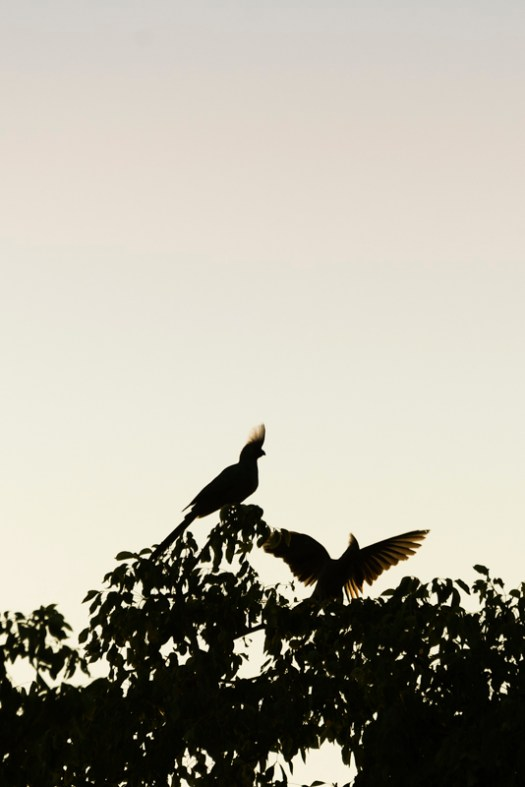 A pair of grey go away birds perched at the top of a tree, in lovely early morning light. 1/400sec, f7.1, ISO 100