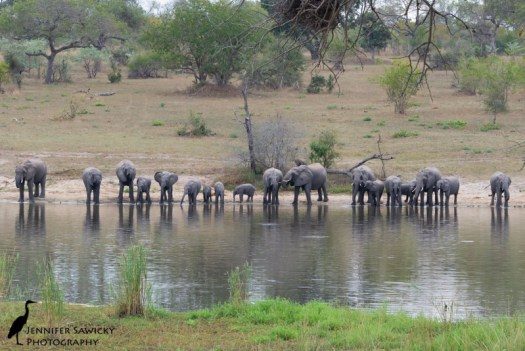A breeding herd of elephants stops by the watering hole outside of the Chitwa Chitwa main lodge for an afternoon drink. 1/500sec, f11, ISO 1600