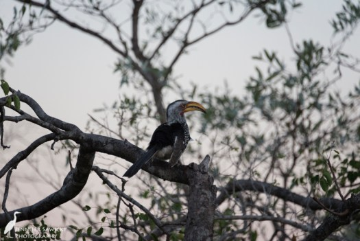 A yellow billed hornbill perched at sunset (or as my Dad calls them, a flying banana).