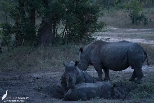 A crash of rhino enjoy an early evening mud wallow. 1/100sec, f4.8, ISO 6400