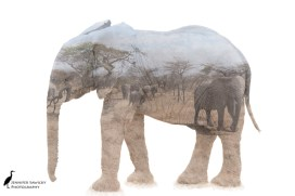 Elephants galore in this multiple exposure image.