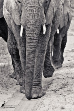 Elephants marching one by one.
