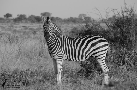 Zebra original.jpg