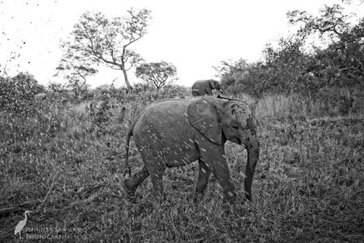 20180313_Elephants3