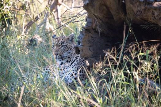 20171007 leopard luminar