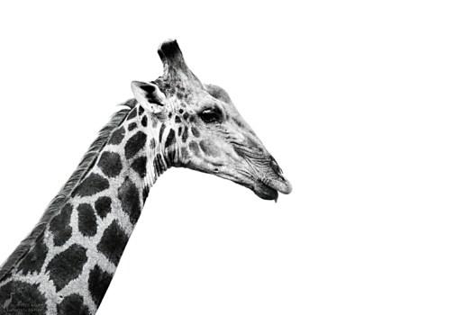 9am - Giraffe