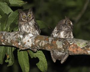 Rinjani Scops Owl