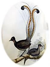 Lyre_bird 1
