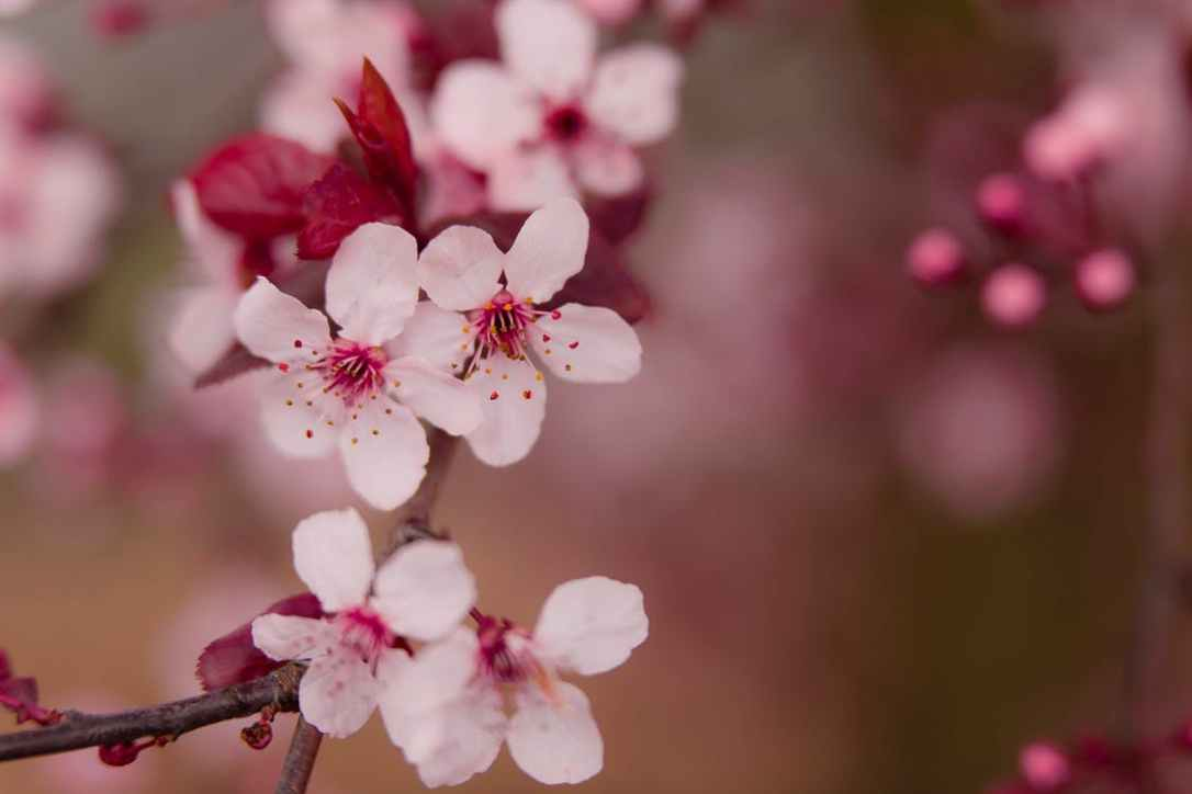 cherry blossoms free download
