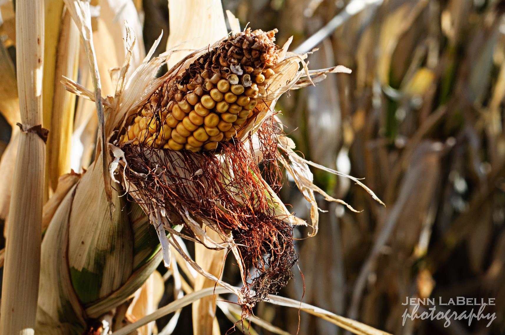 Calgary Corn Maze  Pips  Squeaks