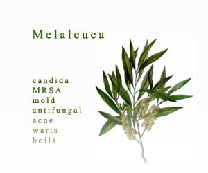 Melaleuca Essential Oil