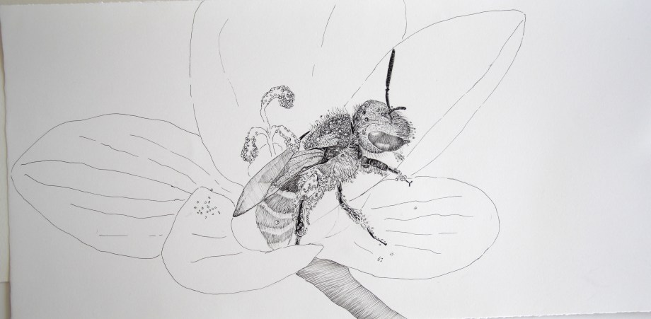 Halictidae bee. Original pen and ink drawing on Arches France hot pressed paper, 56.5cm x 20cm