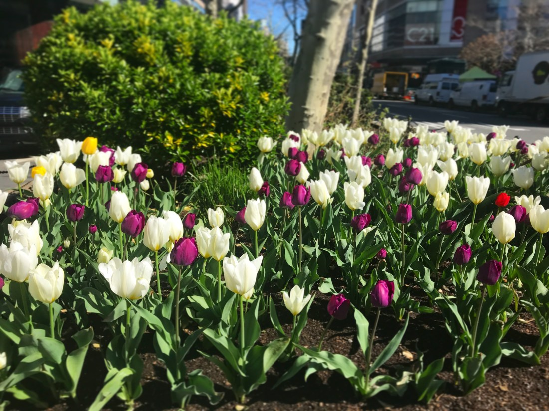 tulips on upper west side of new york city. photo by jenny loeffler.