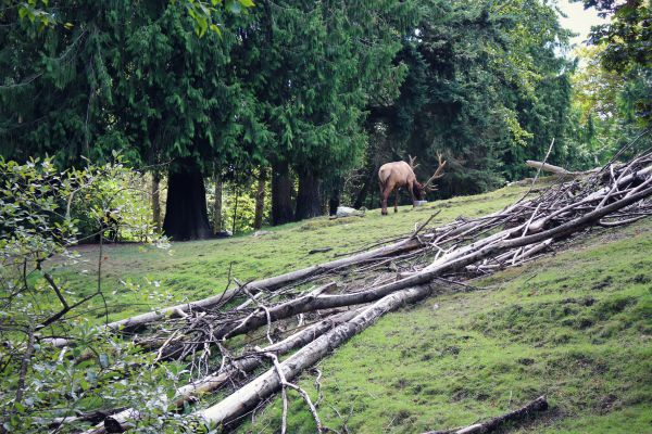 Elk - A visit to the Woodland Park Zoo