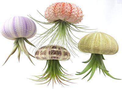 Shells as airplant holders to look like jellyfish