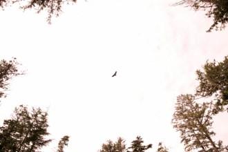 there were so many eagles on the island. we figured this one was either a young bald eagle or a golden eagle
