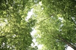 sugar maple/beech canopy