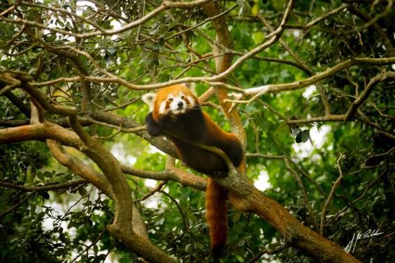 Red Panda edited