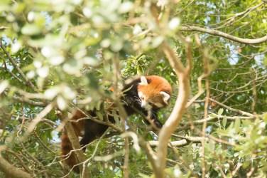 Red Panda 2 original