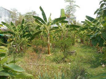 Spare plot of land in the city? Plant banana and pawapaw