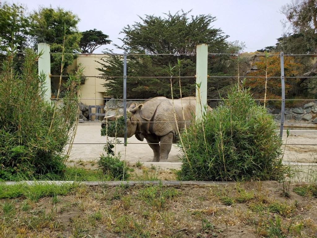 Black Rhinoceros at San Francisco Zoo