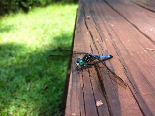 a dragonfly at Lee State Park