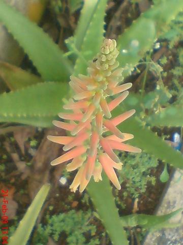 Berapa Sih Harga Bunga Lidah Buaya  Kebunpedia