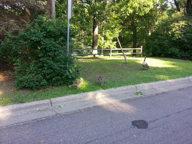 Baby Geese Near University NW Minnesota (1)