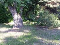 Baby Geese Near University NW Minnesota (3)