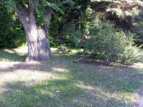 Baby Geese Near University NW Minnesota (5)