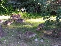 Baby Geese Near University NW Minnesota (6)