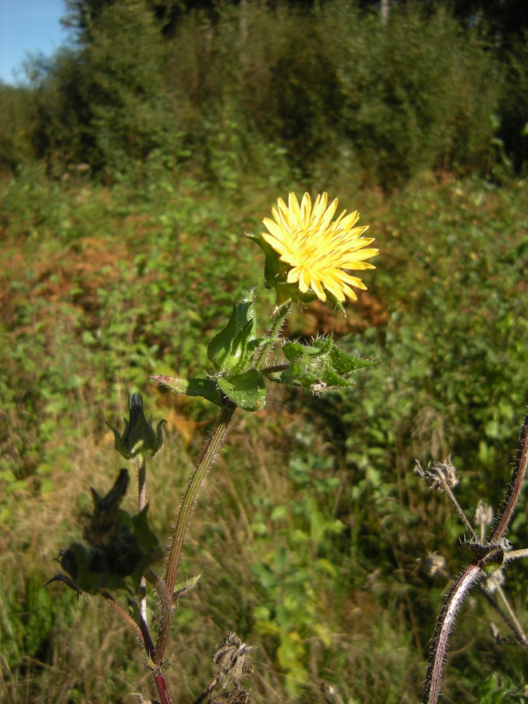 Bristly Oxtongue, Helminthotheca echioides