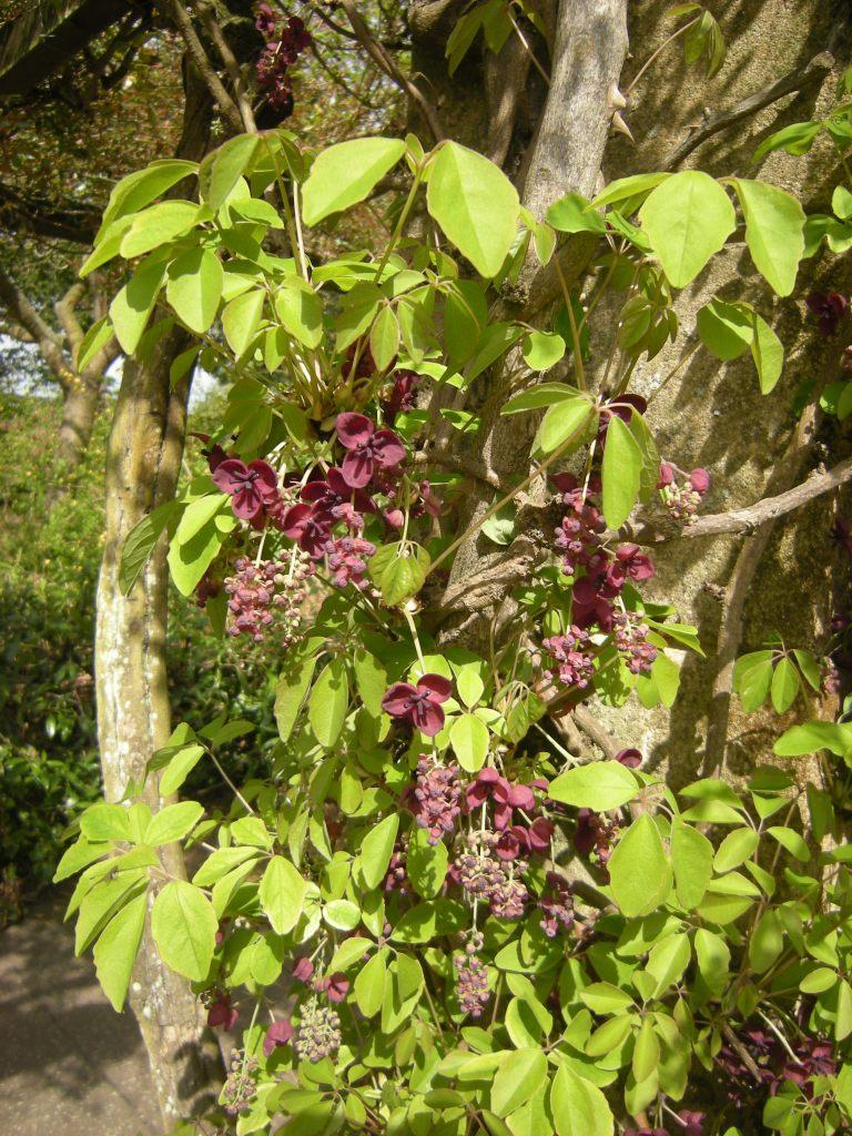 Chocolate Vine, Akebia quinata | Jeremy Bartlett's LET IT GROW blog