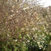 Lonicera × purpusii 'Winter Beauty'
