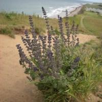 Wild Clary, Salvia verbenaca