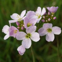 Lady's Smock or Cuckoo Flower, Cardamine pratensis