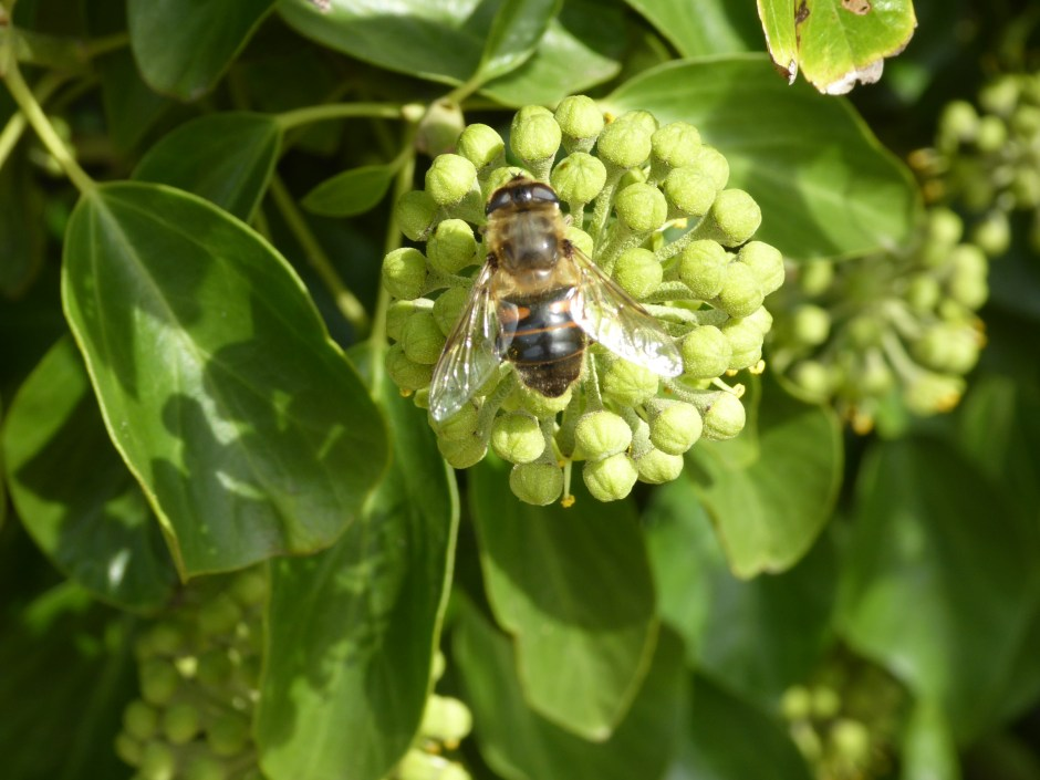 Drone Fly on Ivy flowers