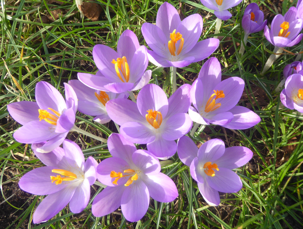 English  BLUEBELL 201 Bulb Full Size Also Sell Crocus Alliums Tulips