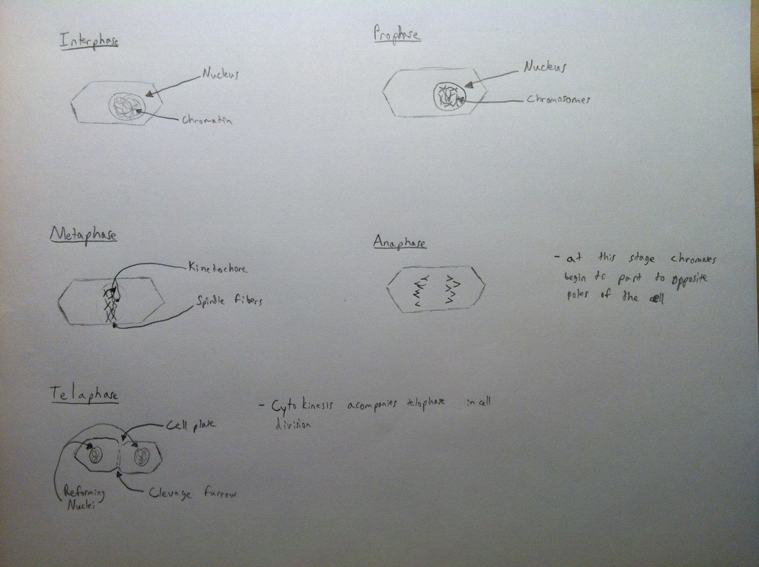 onion root tip diagram lumbar spine labeled mitosis lab jeremy boudah 39s ap biology