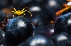 Blueberry Spider