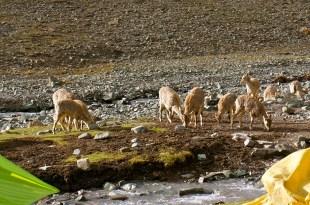 Local Blue sheep visiting base camp