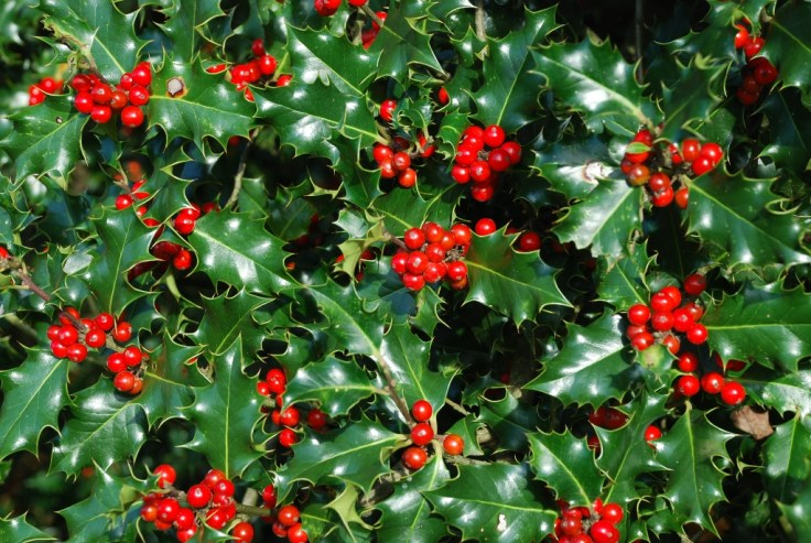 English Holly