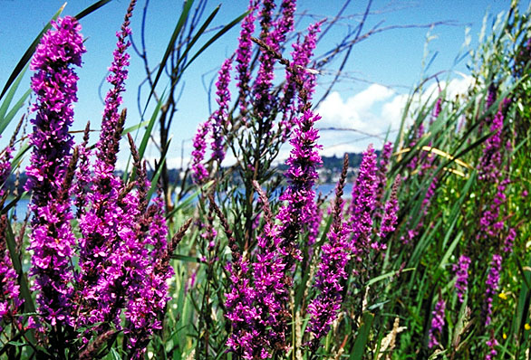 Purple Loostrife*